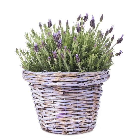 Levandule francouzská neboli korunkatá je přímo ideální květina pro pěstování v košíku.