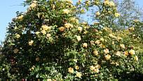 Sadová růže, odrůda Maigold