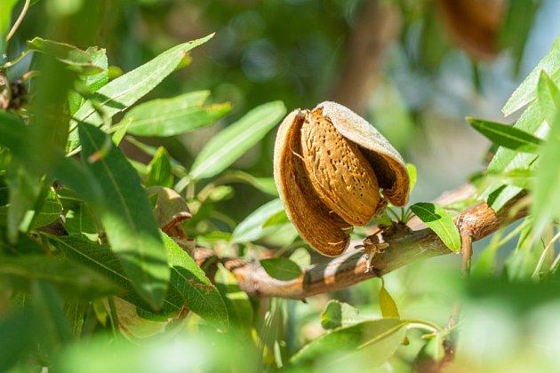 Mandloň plodí už za dva až tři roky od vysazení