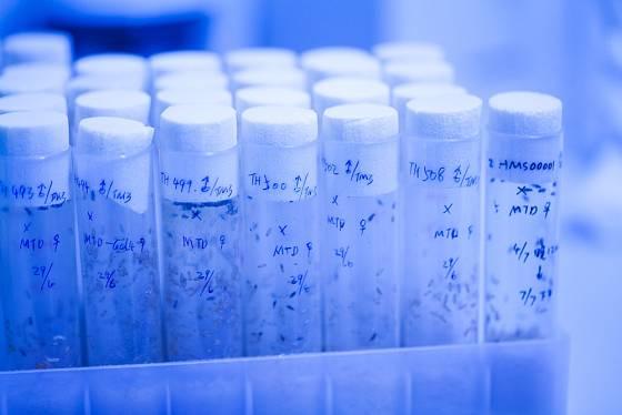 Octomilky jsou organismy důležité pro výzkum