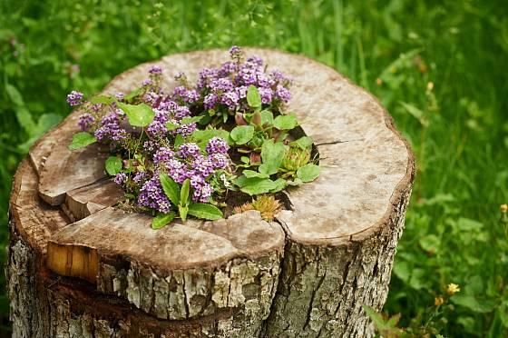 V pařezu jako v pěstební nádobě vyniknou mnohé květiny, zvláště letničky.