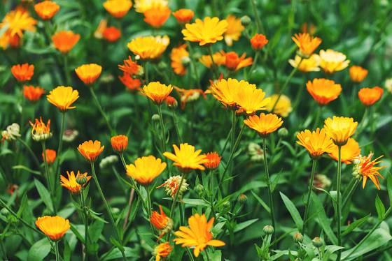 Květy měsíčků prozáří zahradu
