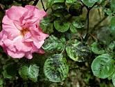 Černá skvrnitost růží (Diplocarpon rosae)