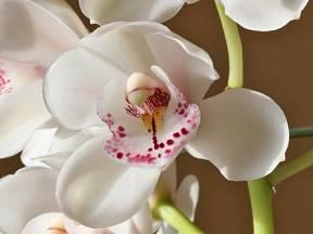 Ne každému se poštěstí, že mu doma orchideje po celou dobu pěstování krásně prospívají a kvetou.