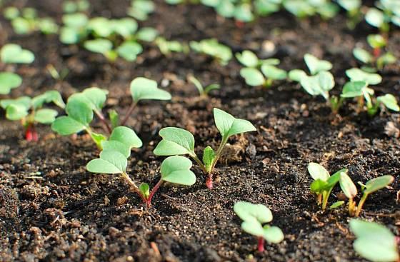 Semenáčky ředkviček