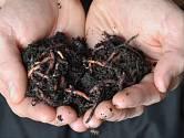 Žížaly hnojní, královny kompostu