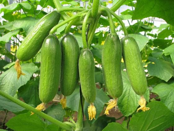 Plody roubované okurky