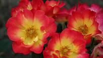Růže odrůdy Summer of Love