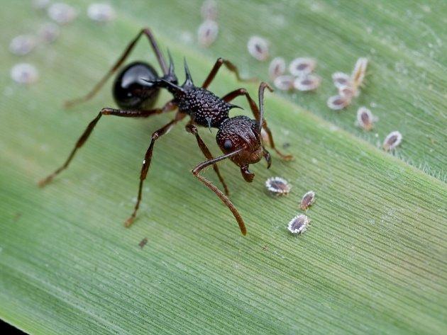 Mravenec u kolonie červců.