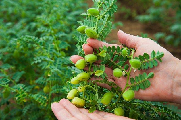 Cizrna je více než 7000 let stará plodina.