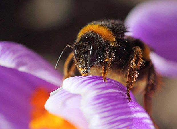 Čmeláci jsou z opylovačů nejotužilejší, vyhledávají časné květy
