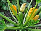 Cuketa kvete a plodí hojně