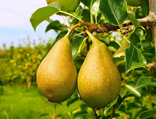 Nejlepší podmínky pro pěstování hrušní jsou v teplých oblastech s nadmořskou výškou 200–350 m