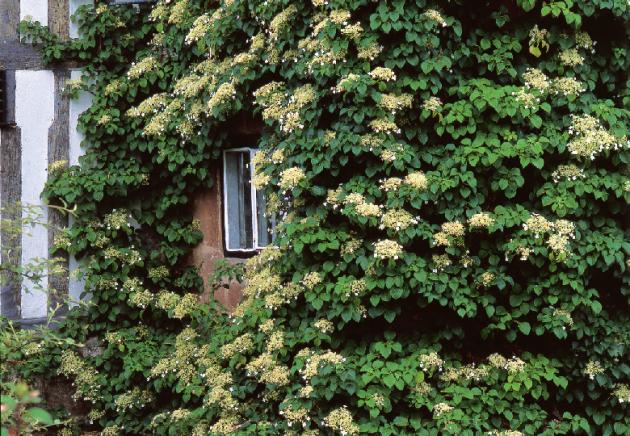 Hortenzie řapíkatá (Hydrangea petiolaris) roste pomalu, ale nakonec dosáhne až patnáctimetrové výšky