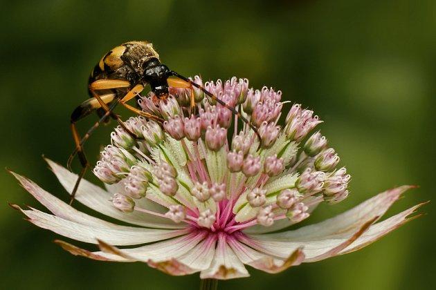 Jarmanky jsou přitažlivé pro hmyz a drobné ptactvo.
