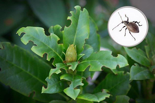 Lalokonosec rýhovaný má v oblibě mimo jiné rododendrony