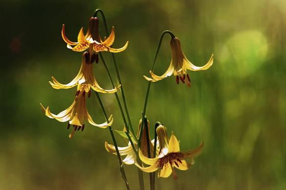 lilie kanadská (Lilium Canadense)