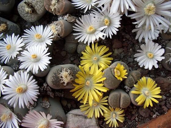 Lithops v květu