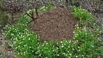 Květiny mraveniště milují, ať už v lese, nebo na zahradě