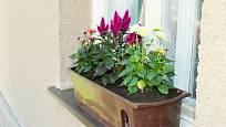 Nevadlec můžeme pěstovat i v truhlíku za oknem.