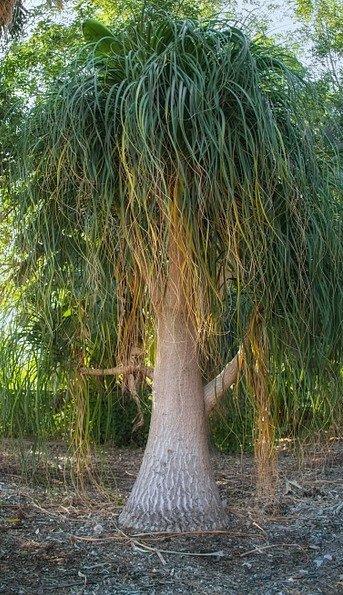 nolina (Beaucarnea recurvata) v mexické přírodě