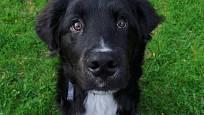 Někteří psi zdědí více genů po labradorech.