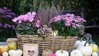 Podzimní aranžmá může být i něžně růžové. Chryzantému, vřes a brambořík doplní bílé okrasné dýně