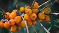 Plody můžeme sbírat tak, že je odřízneme i s větvičkou.