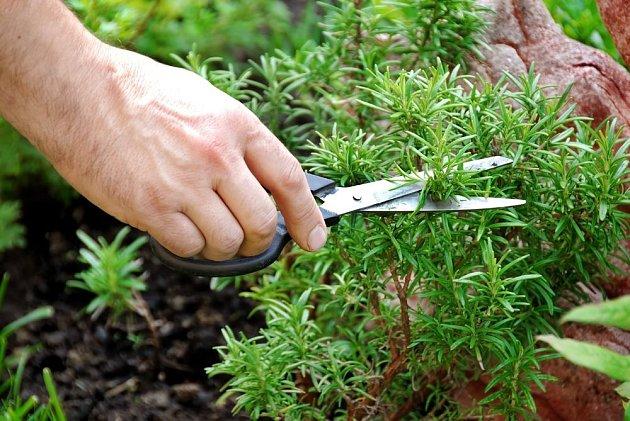 Bylinky sklízíme postupným zastřiháváním vrcholků, které je zároveň udržuje kompaktní