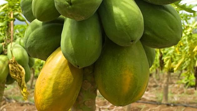 processing of papaya
