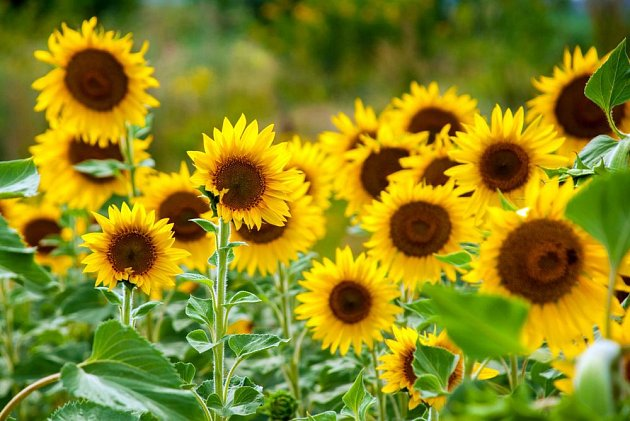 Slunečnice jsou nejen nádherné, ale také jedlé - nejen semena, ale i květní úbory