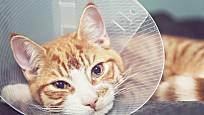 Po operaci musí kočky nosit límec, aby si nerozlízaly ránu.