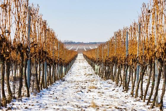 Vinohrad v zimě odpočívá.