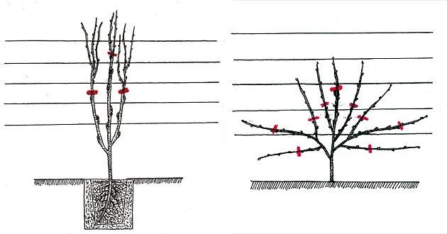 Tvarování vistárie do palmety v prvním a druhém roce