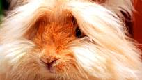 angorský králík a jeho dlouhá srst