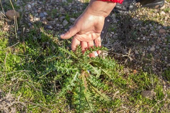 Přízemní listová růžice benediktu lékařského (Cnicus benedictus)