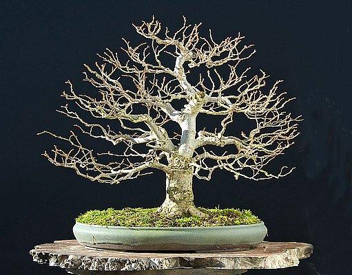 opadavé bonsaje jsou krásné i v zimě