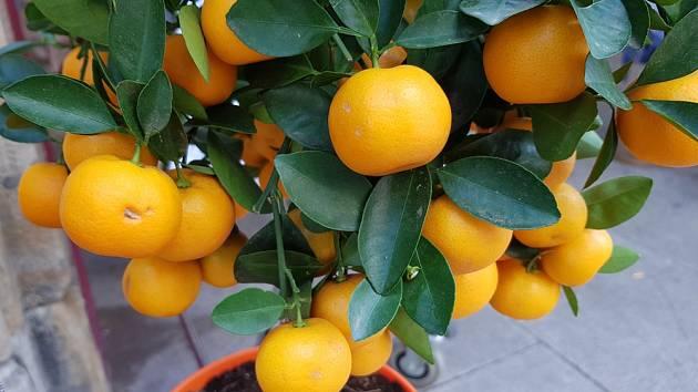 Citrusy musíme v našich podmínkách na zimu přemístit na chráněné místo.