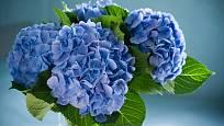 Hortenzie s modře vybarvenými listeny.