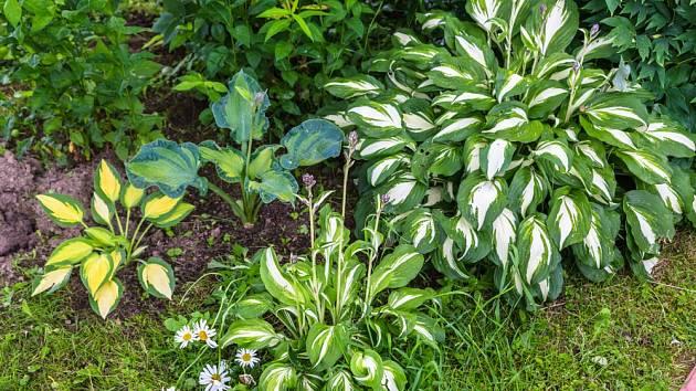 Hosty můžeme vybírat podle velikosti, ale také zbarvení listů.