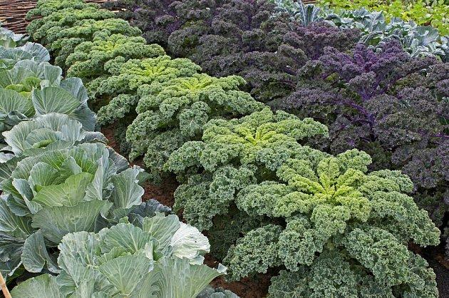 Kadeřávek je vynikající zelenina, kterou budete sklízet po celou zimu
