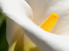 Kornoutice - detail květu.