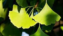 Listy jinanu (Ginko biloba) mají jedinečný tvar