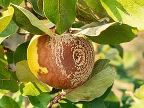 Jablko napadené moniliózou.
