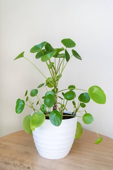 Stálezelená rostlina osvěží každý kout v interiéru.