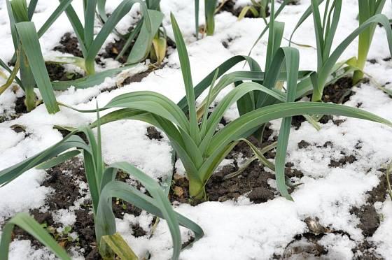 Sněhová pokrývka póru svědčí. Jistější je však mulčování listím.