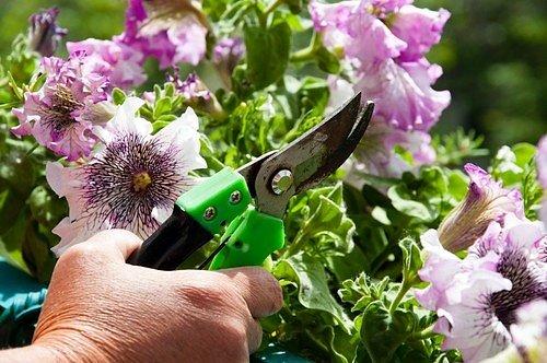 Dalším zásadním krokem, který pomůže petúniím k plnějším novým květům, je odstraňování zvadlých, suchých a vybledlých květů včetně semeníku.