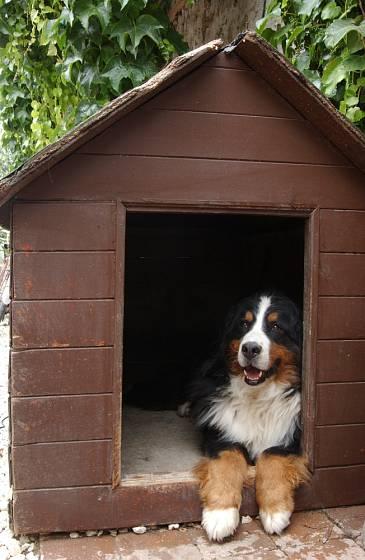 Bernský salašnický pes miluje děti, ale také zimu venku.