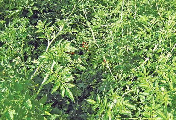 lilek bedrníkolistý - divoké rajče