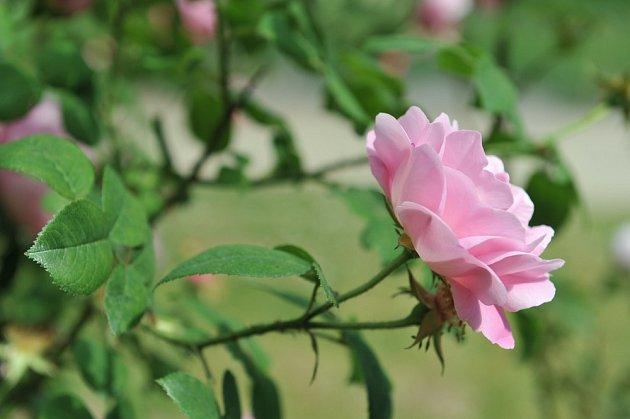 Belle Amour. Jasně růžová odrůda je plnokvětá,